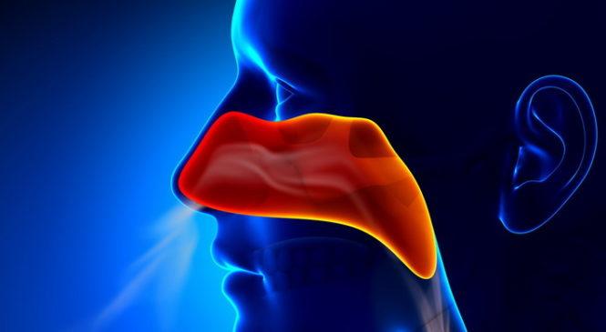 Ученые раскрыли секрет того, как нос защищает организм от бактерий вдыхаемого воздуха