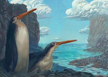 В Новой Зеландии обнаружили гигантского пингвина
